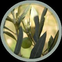 olives-vertes