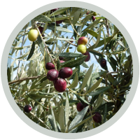olives-branches