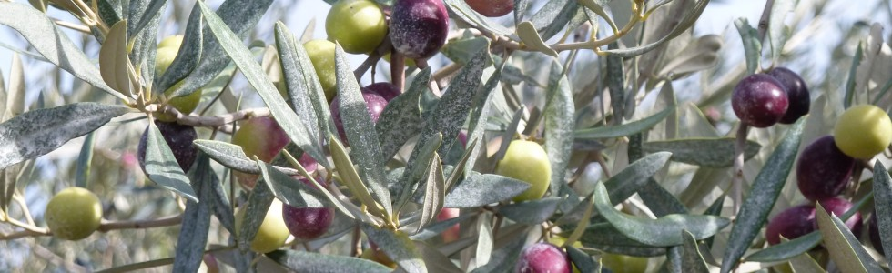Olives tournantes
